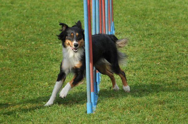 École en cours - 101 initiation à l'agilité pour chiens