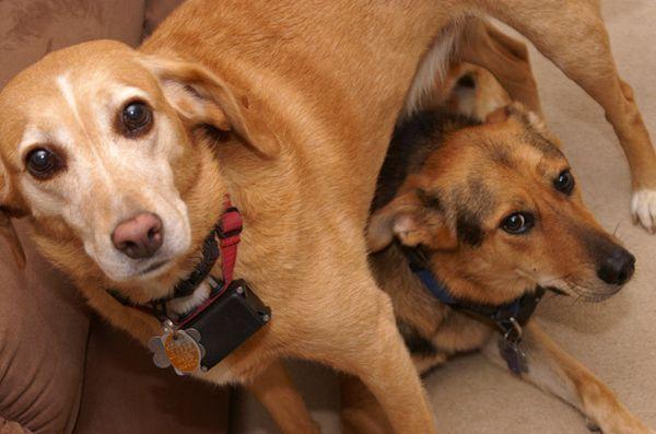 Étude: les colliers de chien électroniques pourraient faire plus de mal que de bien