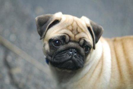 Symptômes et signes d`un carlin de chien enceinte
