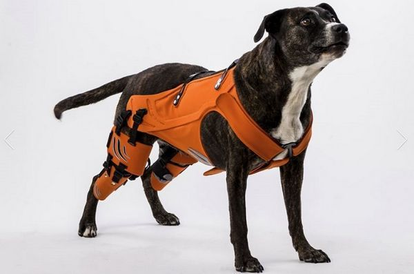 Le harnais de hipster est là pour aider à guérir la dysplasie de la hanche de votre chien