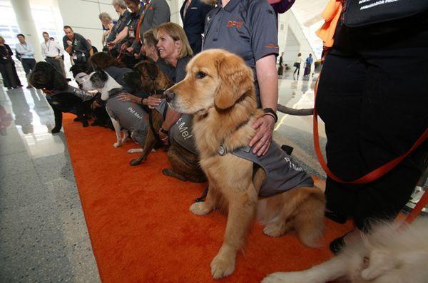 Des chiens de thérapie atterrissent à l`aéroport dallas fort worth