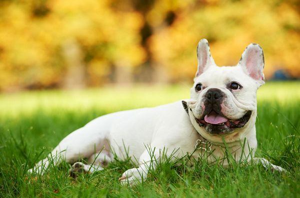 La petite française animée est un chien brillant et amusant, mais sans la nature appétissante que l`on trouve généralement chez les petites races.