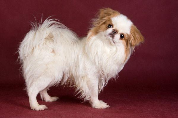 Le Chin japonais est aussi le type de chien le plus «chat» en ce qui concerne l`attitude, la vigilance et l`utilisation de ses pattes pour se laver et essuyer son visage.