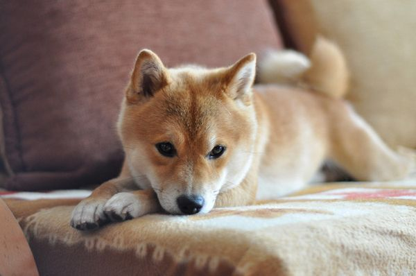 Chien agile et agile, le Shiba Inu a été élevé à l`origine pour la chasse et est en réalité la plus petite race de spitz.
