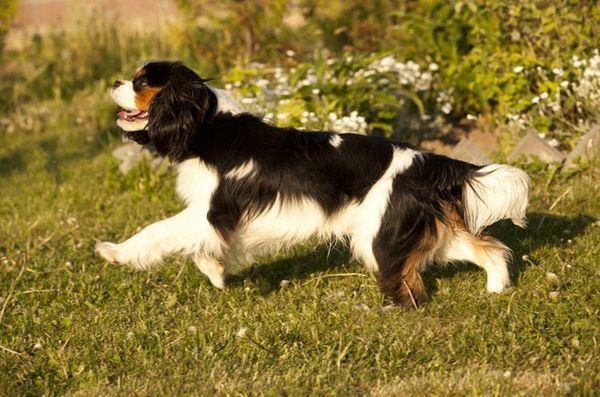 Meilleures races de petits chiens pour enfants: Cavalier King Charles Spaniel