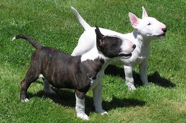 Les meilleures petites races de chiens pour les enfants: Bull Terrier miniature