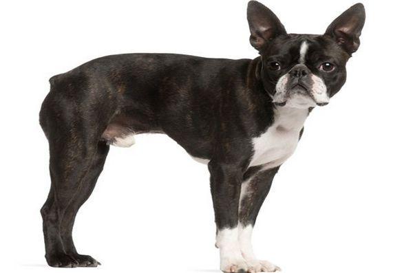Meilleures races de petits chiens pour enfants: Boston Terrier