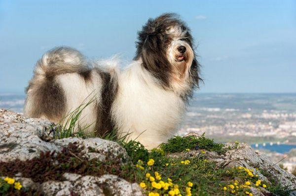 Les meilleures petites races de chiens pour les enfants: havanais