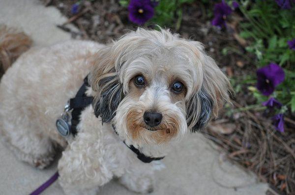 Meilleures races de petits chiens pour enfants: Maltipoo