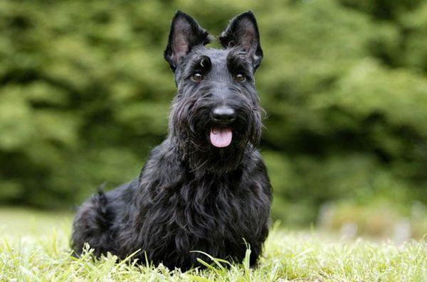 Meilleures races de petits chiens pour enfants: Terrier écossais