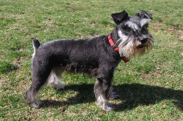 Meilleures races de petits chiens pour enfants: Schnauzer miniature