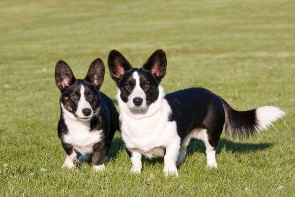 Les meilleures petites races de chiens pour les enfants: Cardigan Welsh Corgi