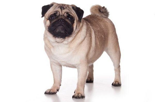 Les meilleures petites races de chiens pour les enfants: Carlin