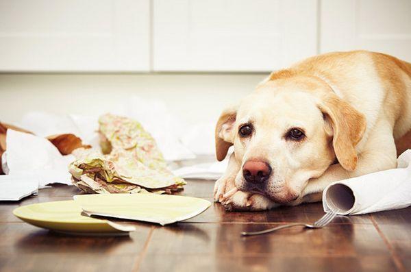 Top 10 des produits ménagers communs toxiques pour les chiens