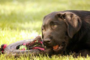Top 14 des meilleurs jouets pour grands chiens