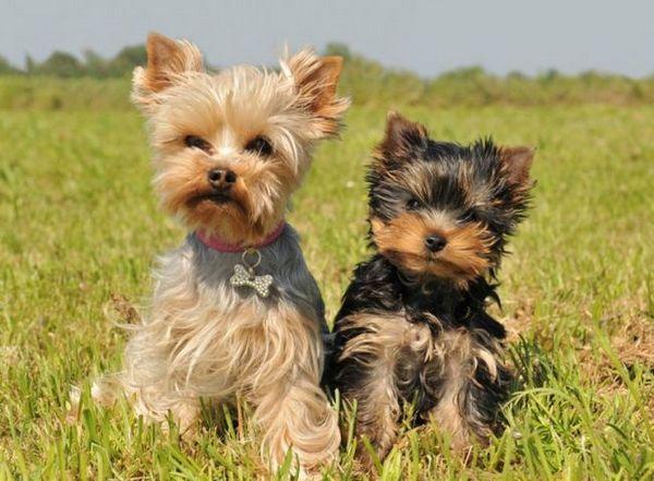 Qu`est-ce que Legg-Calve-Peps dans les chiens?