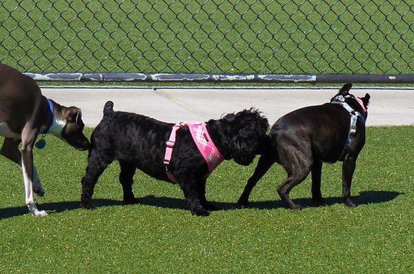 Pourquoi les chiens reniflent-ils les mégots?
