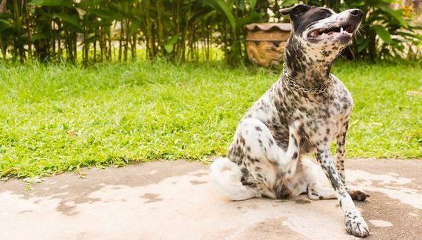 Pourquoi mon chien démange-t-il? 4 raisons scientifiques et traitements éprouvés
