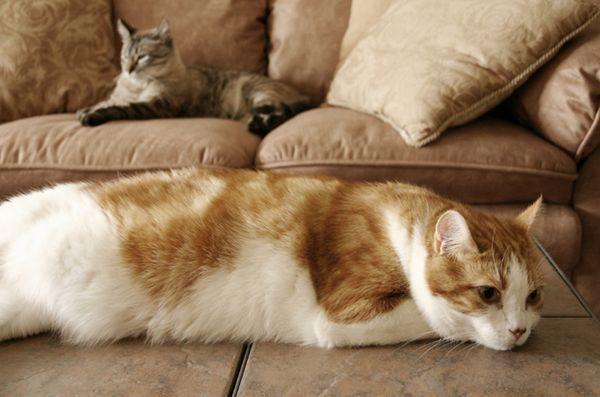Pourquoi votre chat pulvérise et ce que vous pouvez faire à ce sujet