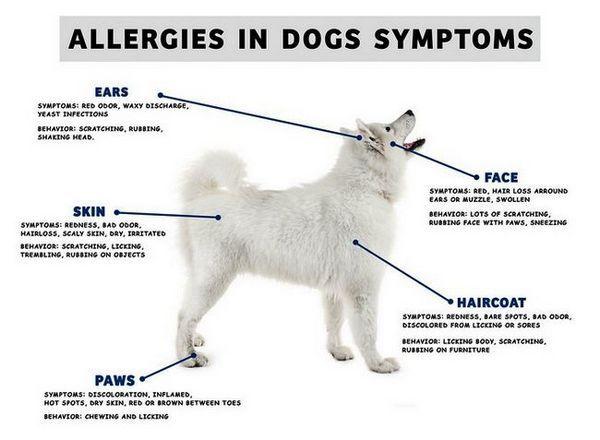 Allergies hivernales chez les chiens