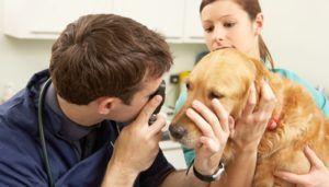 Traitement des allergies hivernales chez les chiens